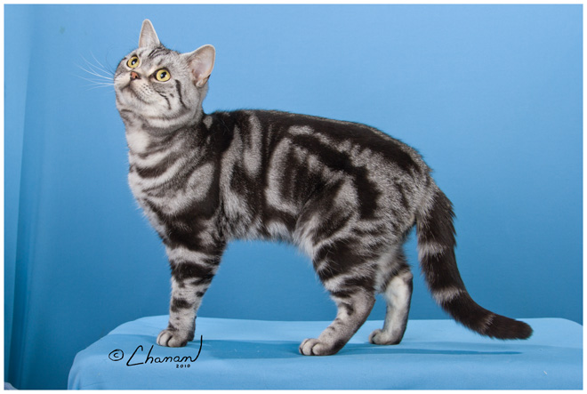 Silver Mark Cattery Ch Placer S Premier Playboy Of Silver Mark Playboy